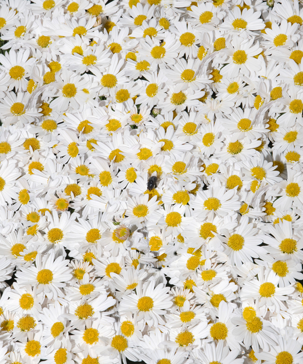 daisyfly