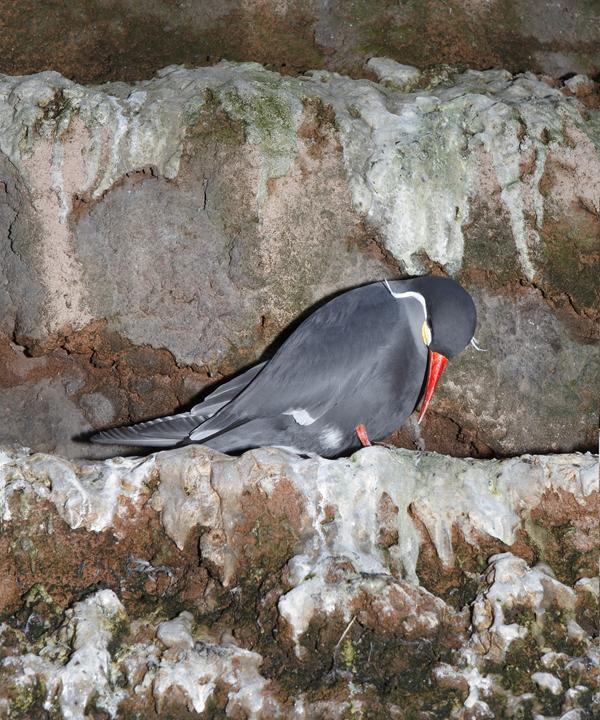 graybird